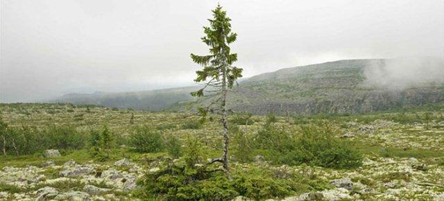Si trova in Svezia ed ha 9500 anni: è l'albero più vecchio di sempre